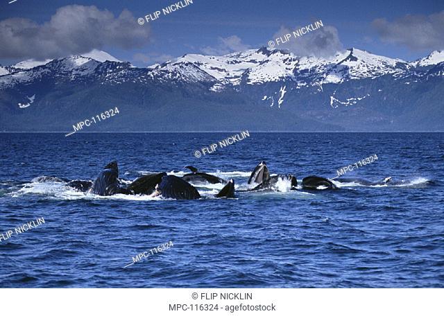 HUMPBACK WHALES (Megaptera novaeangliae)  COOPERATIVE GULP FEEDING ON HERRING  SCHOOL, SOUTHEAST ALASKA