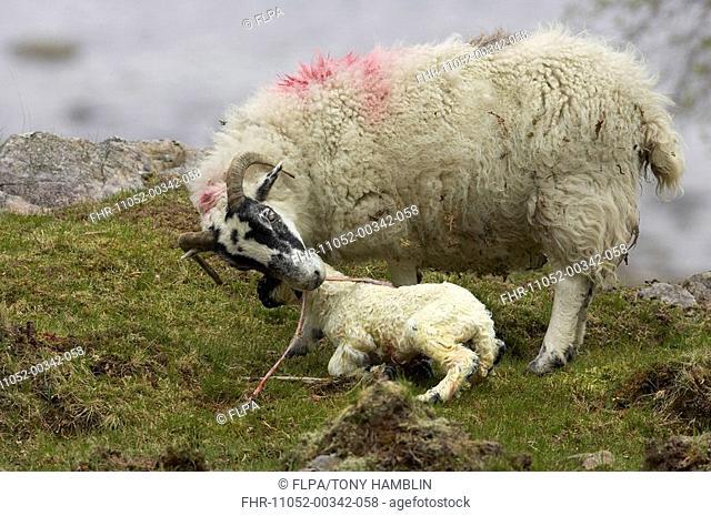 Domestic Sheep, Scottish Blackface, birth of lamb, ewe eating afterbirth, Isle of Mull, Scotland, spring