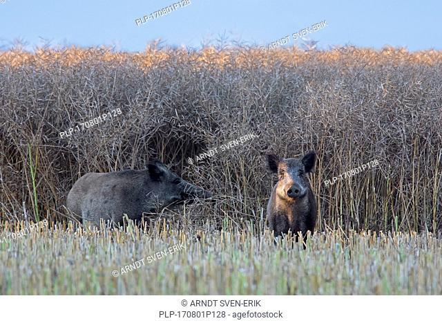 Two wild boars (Sus scrofa) foraging on stubblefield on farmland in summer