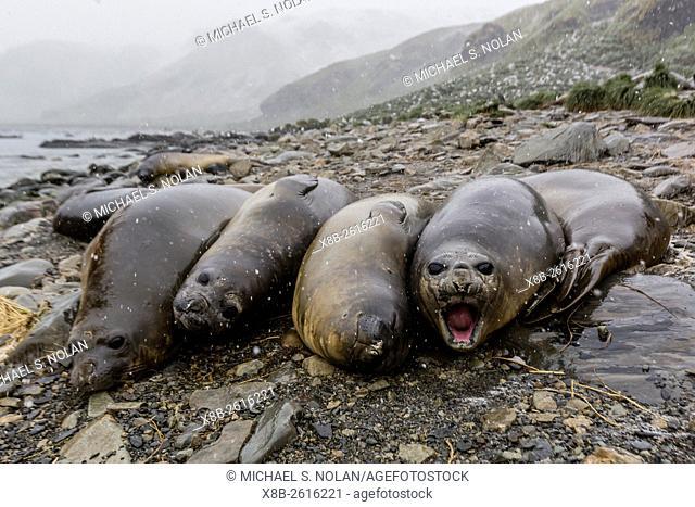 Southern elephant seals, Mirounga leonina, molting in Gold Harbor, South Georgia, UK Overseas Protectorate