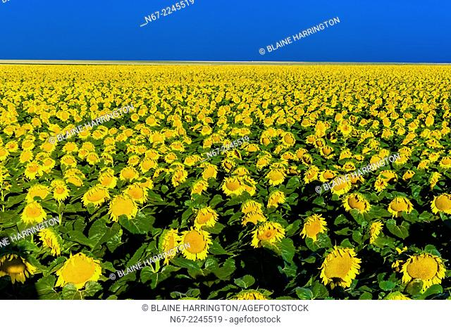 Sunflower fields, Schields & Sons Farm near Goodland, Western Kansas USA