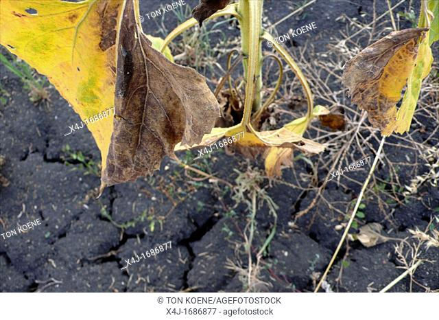 global warming resulting in failed crop sunflower production in southern bulgaria