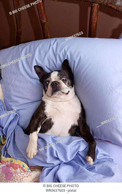 Boston terrier in bed with blue sheets