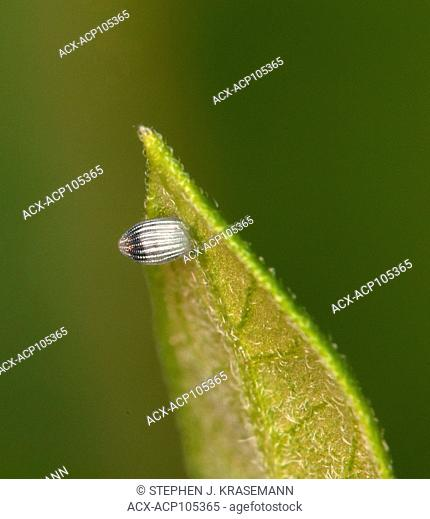 Close-up of Monarch butterfly (Danaus plexippus) egg laid on milkweed leaf