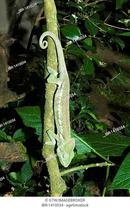 Oustalet's or Malagasy Giant Chameleon (Furcifer oustaleti), Madagascar, Africa