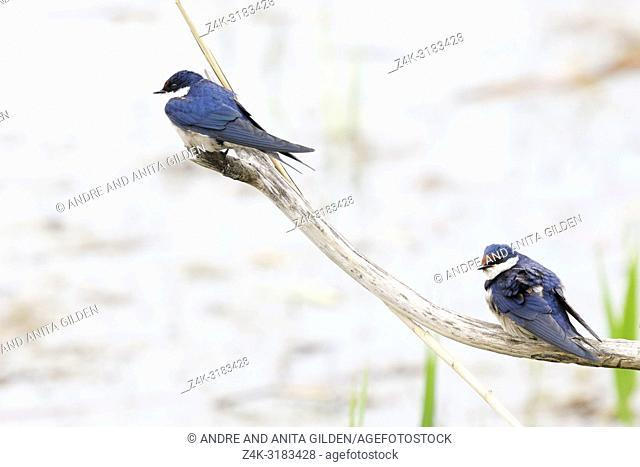 Two white-throated swallow (Hirundo albigularis) perching on a tree stump, Wilderness National Park, South Africa