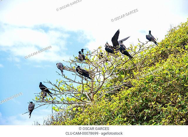Fregata aquila, Keys Three Brothers, San Andres Island, Archipelago of San Andres, Providencia and Santa Catalina, Colombia