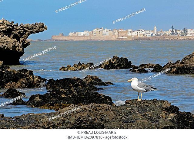 Morocco, Essaouira, Archipelago of Essaouira, Mogador islands, Yellow-legged Gull (Larus michahellis)