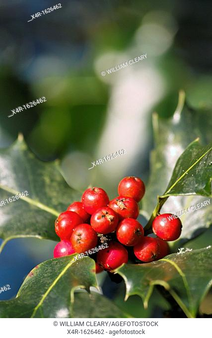 European Holly (Ilex aquifolium) with Berries