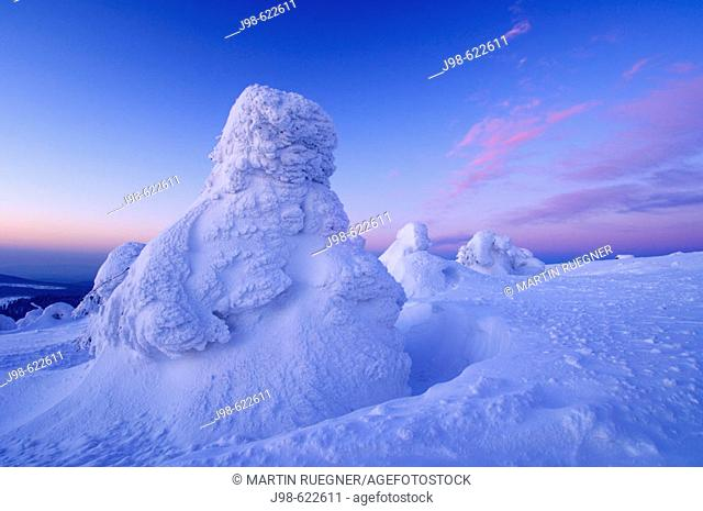 Snow-covered Norway spruce trees (Picea abies) at sunrise. Brocken (Mountain), National Park Hochharz, Saxony-Anhalt, Germany, Europe
