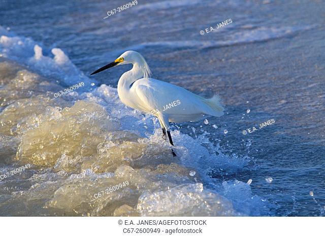 Snowy Egret Egretta thula feeding in the surf Fort Myers beach Gulf Coast Florida USA
