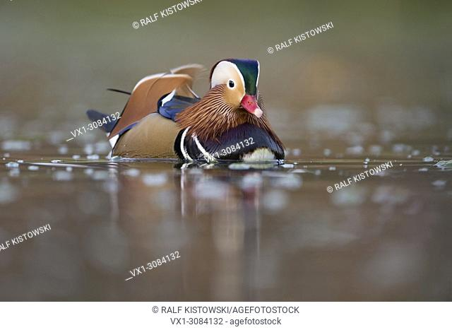 Mandarin Duck ( Aix galericulata ), colourful drake in breeding dress, close up, nice colored clean background, wildlife, Europe