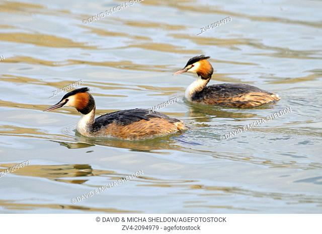 Close-up of two Great Crested Grebe (Podiceps cristatus) birds swimming in the water