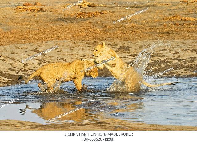 Playing lion cups (Panthera leo) in the waterhole, Savuti, Chobe Nationalpark, Botswana, Africa