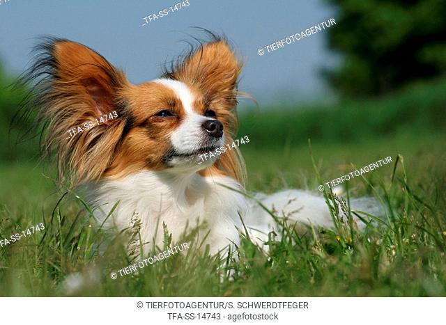 Papillon in the meadow