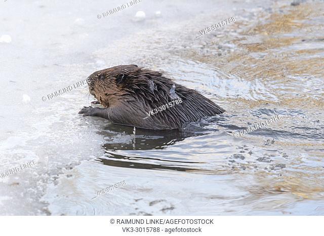 Beaver, European beaver, Castor fiber, in winter, Germany