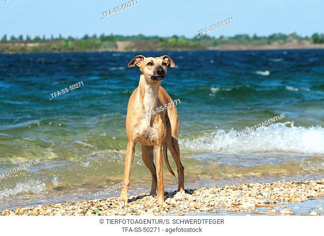 Whippet at the water
