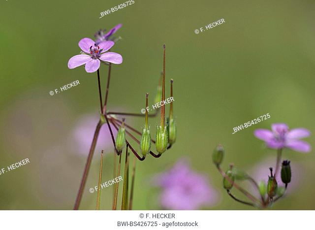 common stork's-bill, red-stemmed filaree, pin clover (Erodium cicutarium), with flowers and fruits, Germany