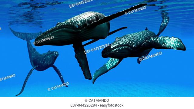 A male bull Humpback whale takes interest in a female as her escort watches at a distance