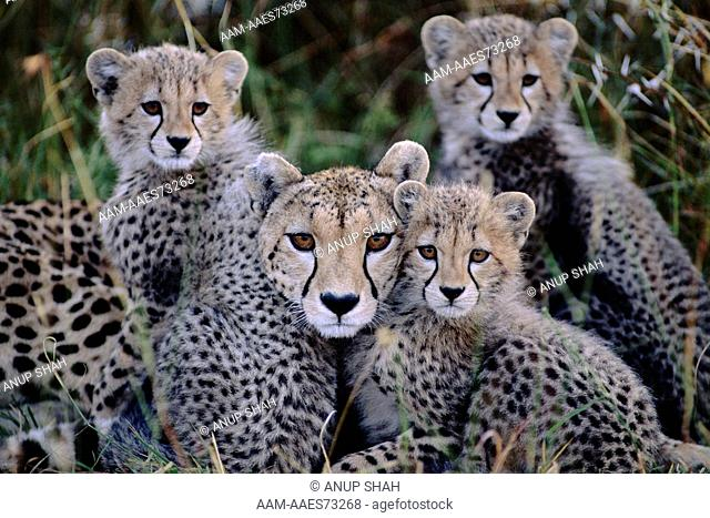 Female Cheetah cuddling up to her three cubs (Acinonyx jubatus) Maasai Mara National Reserve, Kenya. portrait