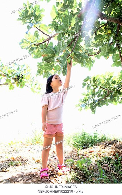 Italy, girl picking up fig from tree
