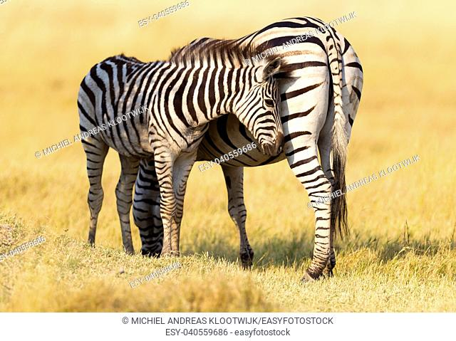Plains zebra (Equus quagga) with young in the grassy nature, evening sun - Botswana