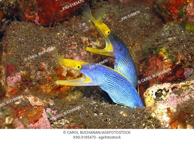 Two Blue Ribbon Eels, Rhinomuraena quaesita, sharing the same burrow. Tulamben, Bali, Indonesia. Bali Sea, Indian Ocean