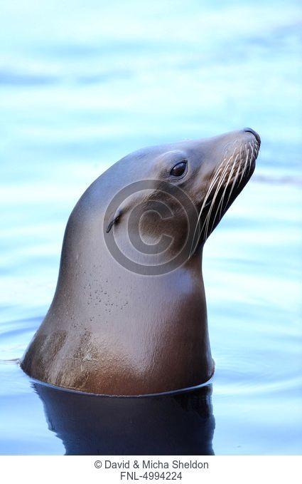 California sea lion Zalophus californianus in water
