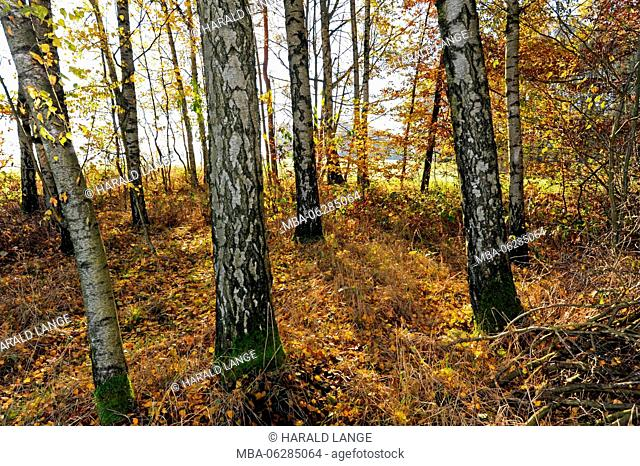 Autumnally coloured deciduous forest with natural birch continuance, Sand birches, Betula pendula
