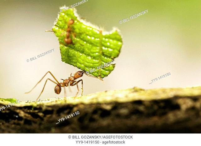 Close-up of Leafcutter Ant carrying leaf - Osa Peninsula - near Puerto Jimenez, Costa Rica