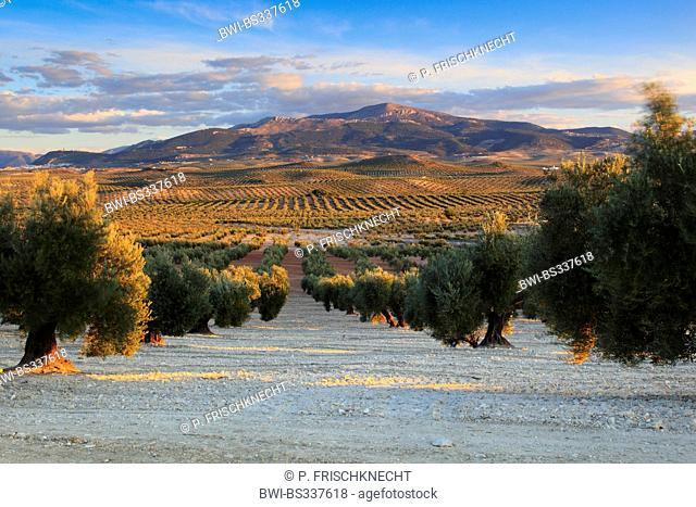 olive tree (Olea europaea ssp. sativa), olive groves near Jaén, Spain, Andalusia, Jaen, Sierra Morena