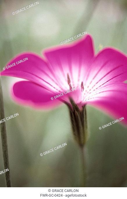 Agrostemma githago, Corncockle