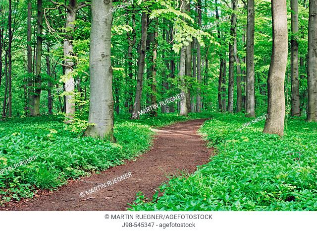 Track through Beech tree forest (Deciduous forest). Hainich National Park, Thuringia (Thüringen / Thueringen), Germany, Europe