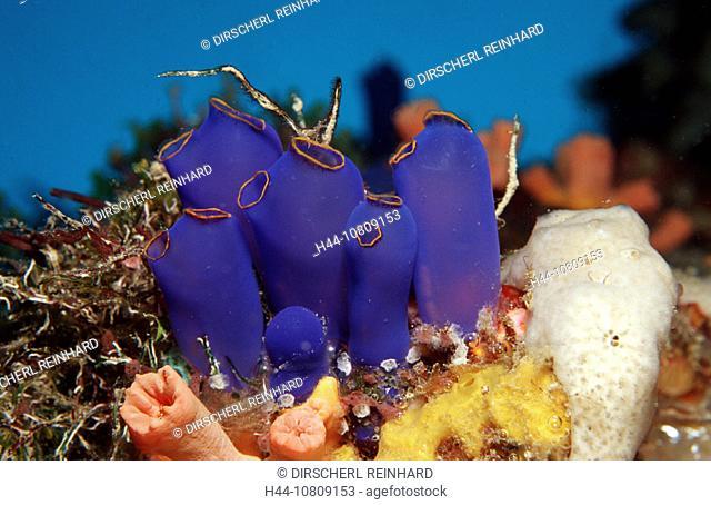 action, Ascidia, blue, Bohol, Bohol Sea, coral reef, diving, holiday, holidays, invertebrate, invertebrates, live, m