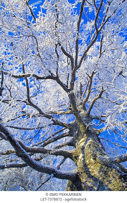 Birch tree covered with frost