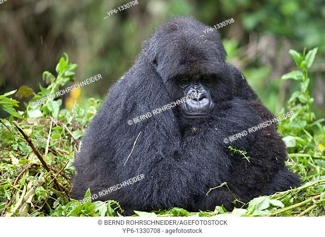 Mountain Gorilla, Gorilla beringei beringei, female with young sitting on nest in rain, Volcanoes National Park, Rwanda