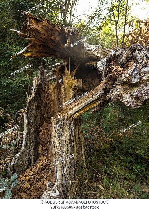 Gale-force winds snapped this pine tree in a forest. Table Mountain, Cape Town, South Africa