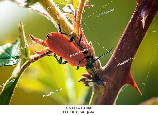 Scarlet Lily Beetle (Lilioceris Lilii) on plant, close-up