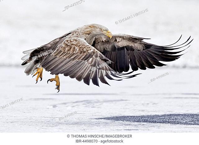White-tailed sea-eagle (Haliaeetus albicilla), adult at start-Gostyninsko Wloclawski Park, Poland