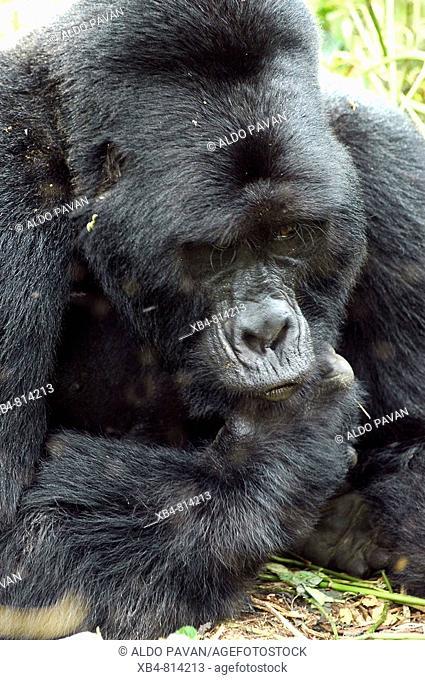 Mountain Gorilla (Gorilla gorilla beringei), Bwindi Impenetrable Forest, Uganda
