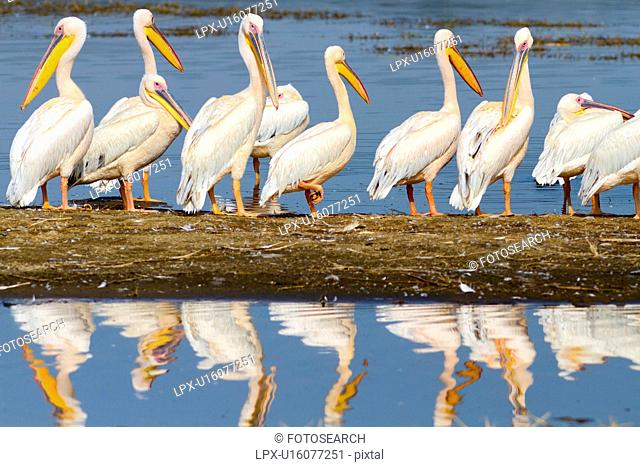 Close up view of group of African pelicans standing at lakeshore, with reflection in water, Lake Nakuru, Kenya