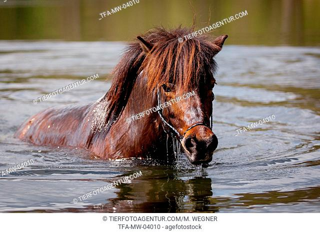 bathing Icelandic horse