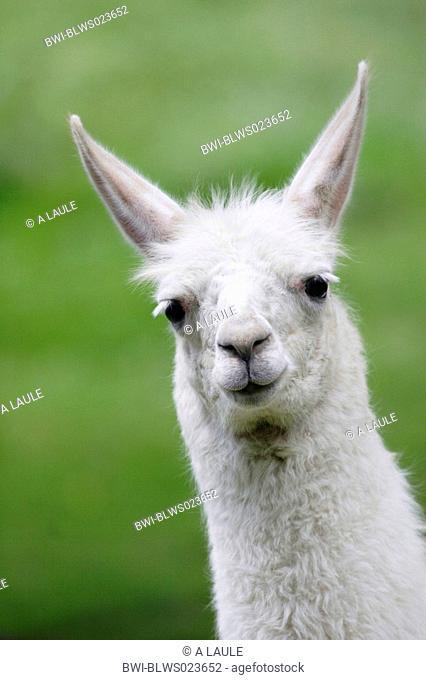 llama Lama glama, white young, portrait, May 05