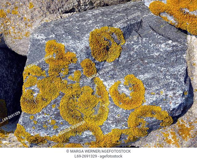 Lichen, Xanthoria parietina, growing on the shoreline stabilisation of Hallig Langeneß, Wadden Sea, North Sea, Schleswig-Holstein, Germany, Europe