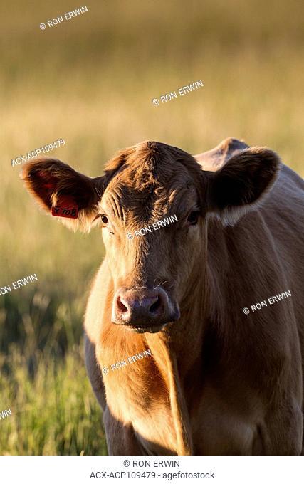 Red Angus / charolais cross cow, Barrie Island, Ontario, Canada