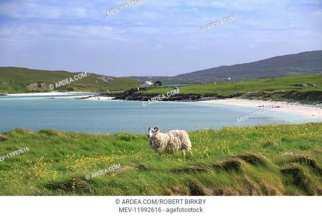 Sheep at the coast - Eoligarry, Isle of Barra, Scotland