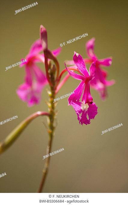 lopsided star orchid (Epidendrum secundum), blooming, Venezuela, Canaima National Park, Gran Sabana