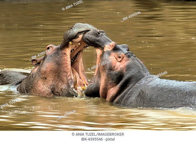 Hippopotamuses (Hippopotamus amphibicus), fighting in water, open mouth, Masai Mara, Kenya