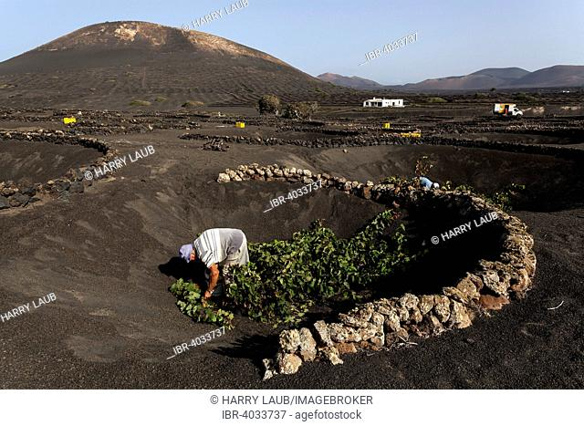 Typical vineyards in dry cultivation in volcanic ash, evening light, harvest, wine-growing region La Geria, Lanzarote, Canary Islands, Spain