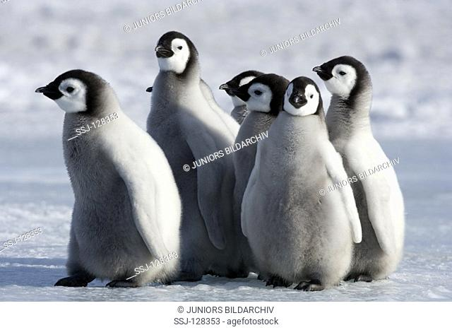 emperor penguin - cubs - Aptenodytes forsteri